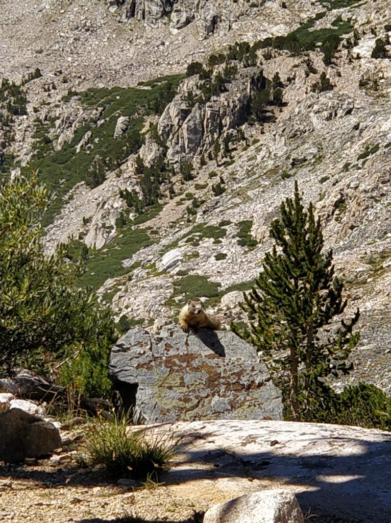 A marmot watches